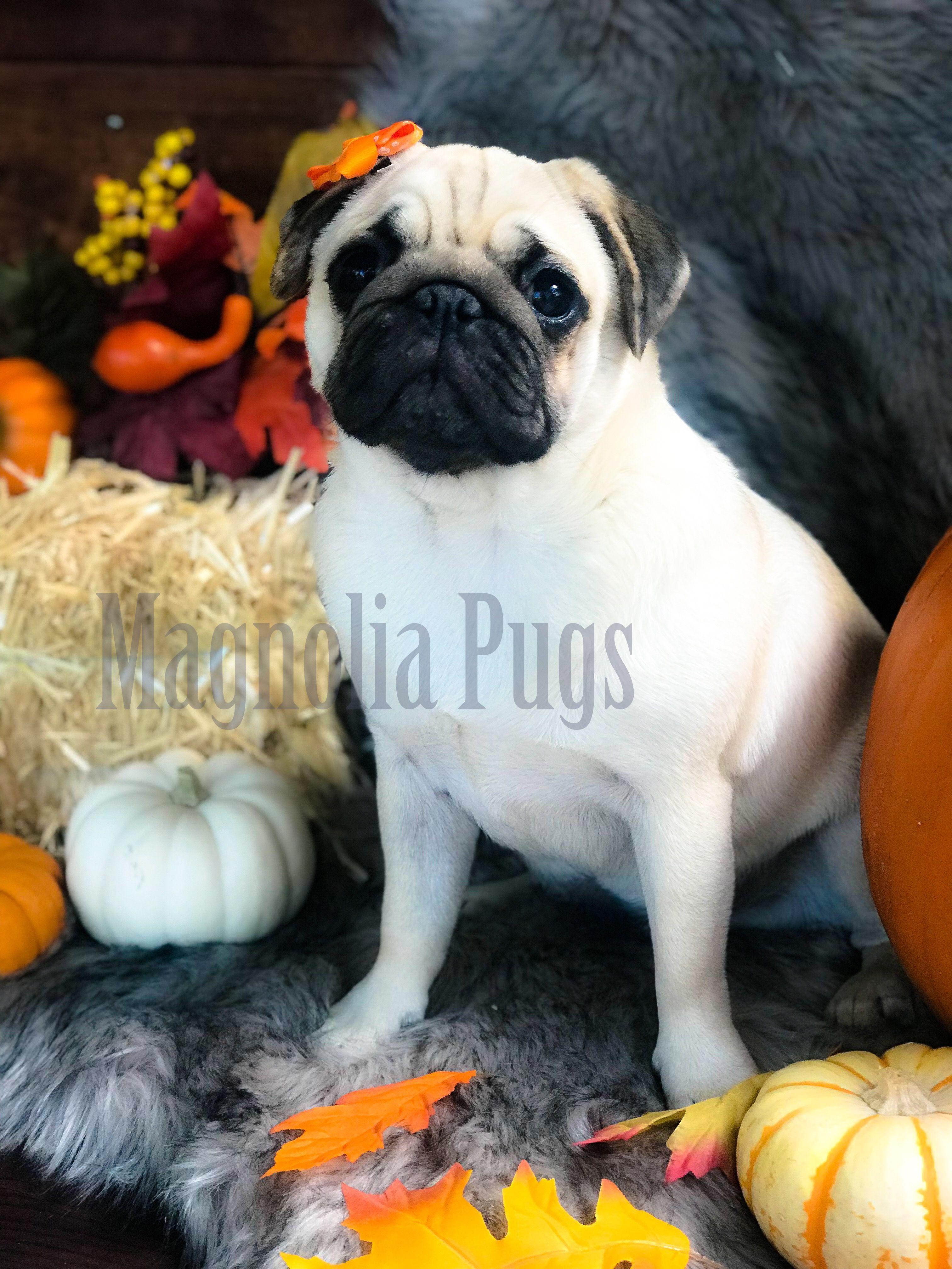 Muffy The Fawn Pug Magnolia Texas Cute Pugs Pug Puppies