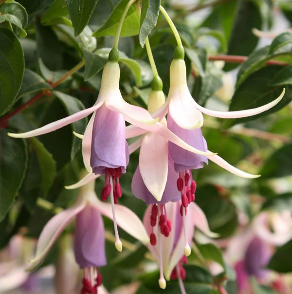The Preciosa Flower Is An Upright Fuchsia Variety That S Heat Tolerant This Plant Blooms Continuously Throughout The Season Fuchsia Plant Fuchsia Flower Plants