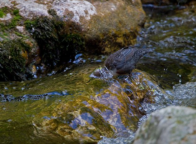 White-throated Dipper on the hunt by Francois Portmann