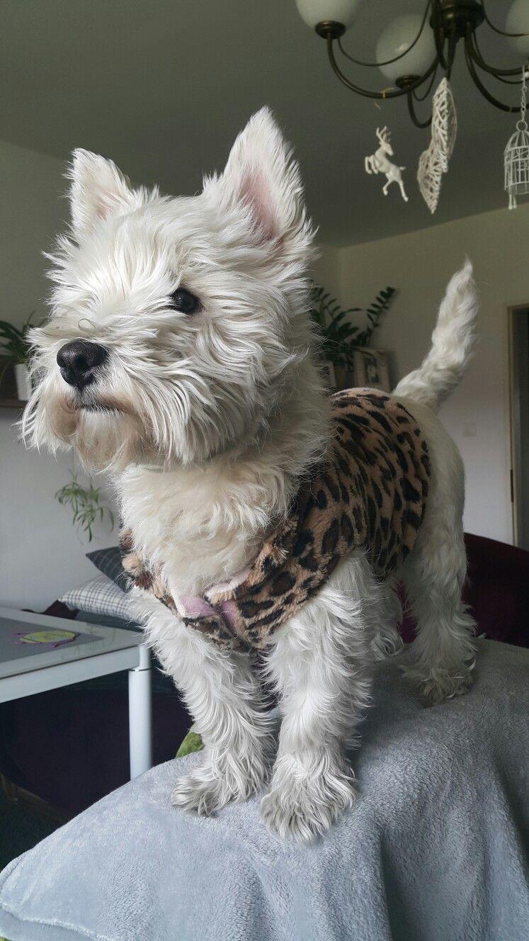 My Dear Maru My Westie 내 마루 West Highland White Terrier Westie Puppies Cute Dogs Westies