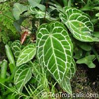 Anthurium Crystallinum Crystal Anthurium Tail Flower In 2020 Anthurium Plant Leaves Plants