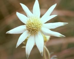 The australian bush flower essences flow from the work of ian white the australian bush flower essences flow from the work of ian white a fifth generation herbalist natural healer and pioneer researcher of the remedial mightylinksfo