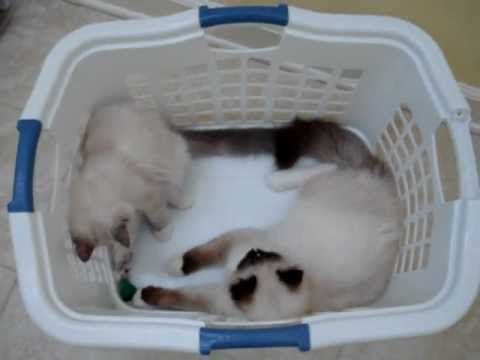 This Is Charlie A 5 Month Old Seal Mitted Ragdoll With An Hourglass Blaze Playing In A Laundry Basket With His Roommate T Ragdoll Kitten Kitten Care Kittens
