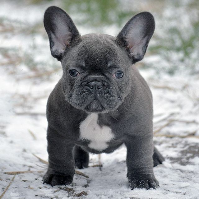 For Sale Coco Gorgeous Solid Blue Girl E Vanillabulldogs Gmail