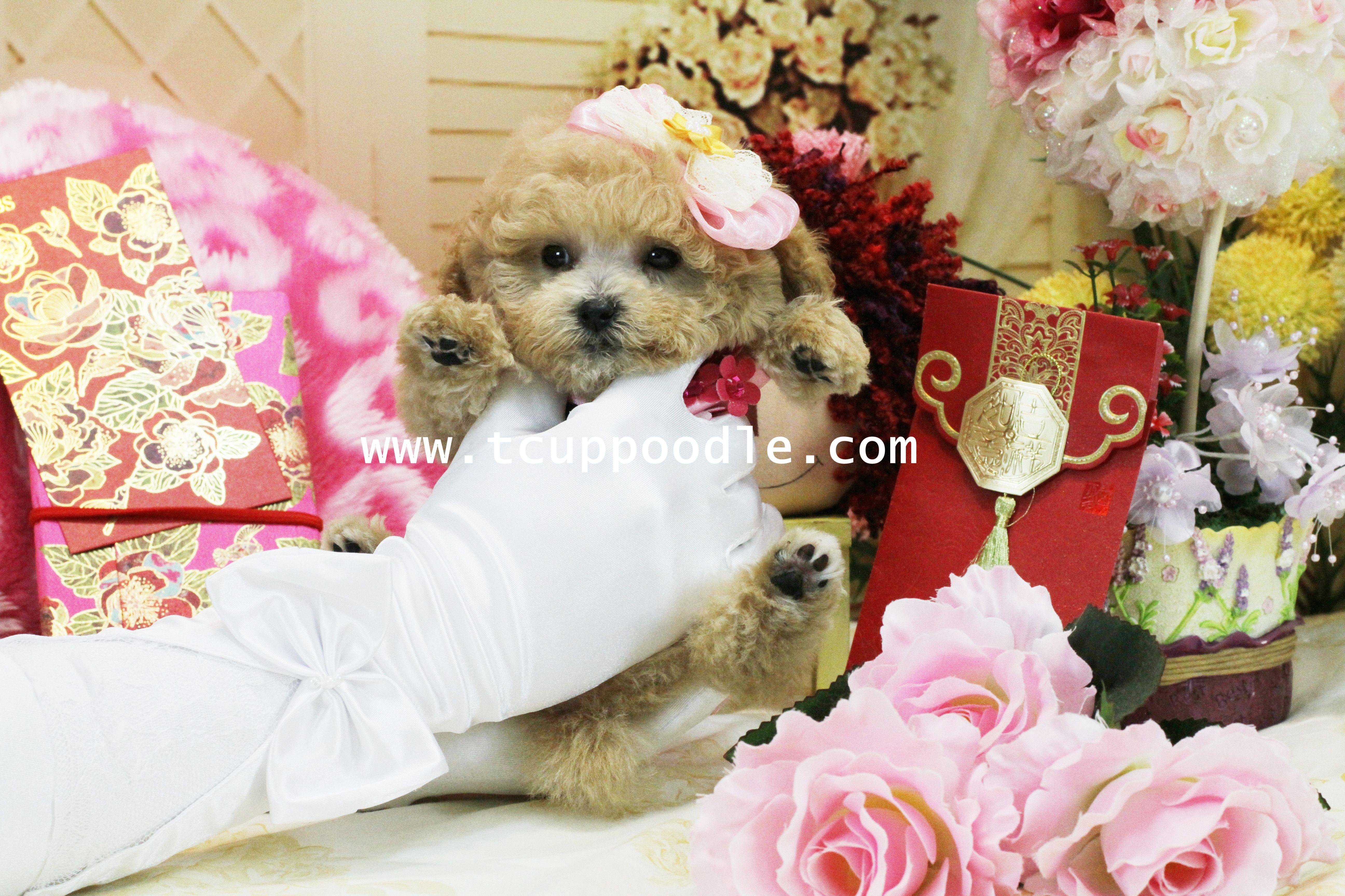 Super Tiny Teacup Poodle no.168 (International Delivery