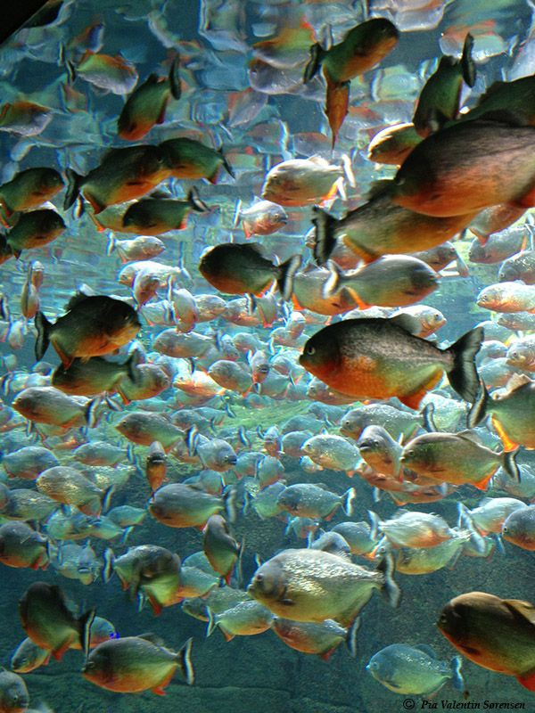 The piranha has a terrible reputation but they aren t for Exotic fish and pets