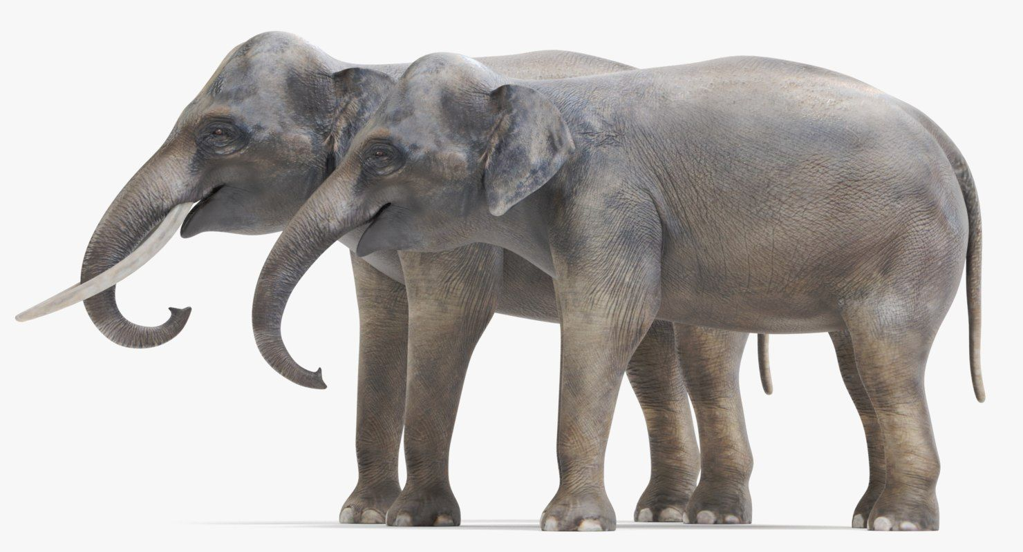 3d Model Asian Elephants Animais