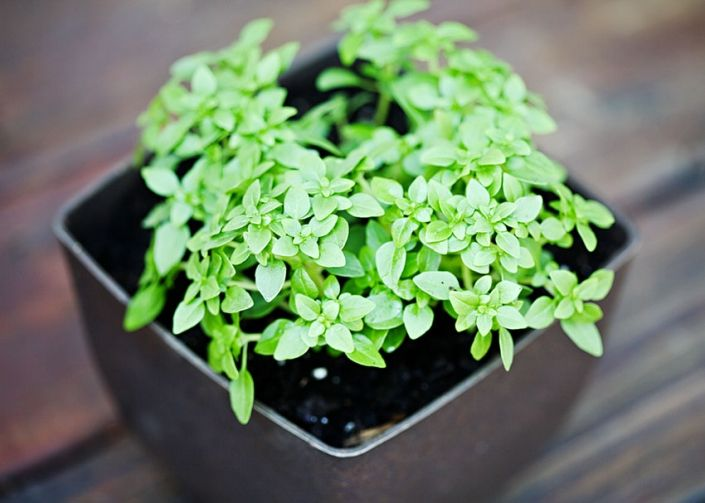 Houseplants Boxwood Basil How To Grow It In A Pot Boxwood Ehow Houseplant Basil Pot Growing
