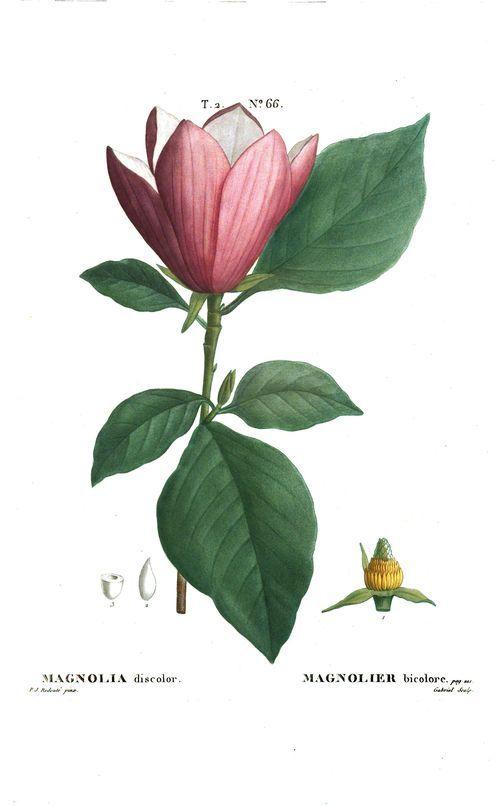 Traité des arbres et arbustes, que l'on cultive en pleine terre en France, par Duhamel. #botanique