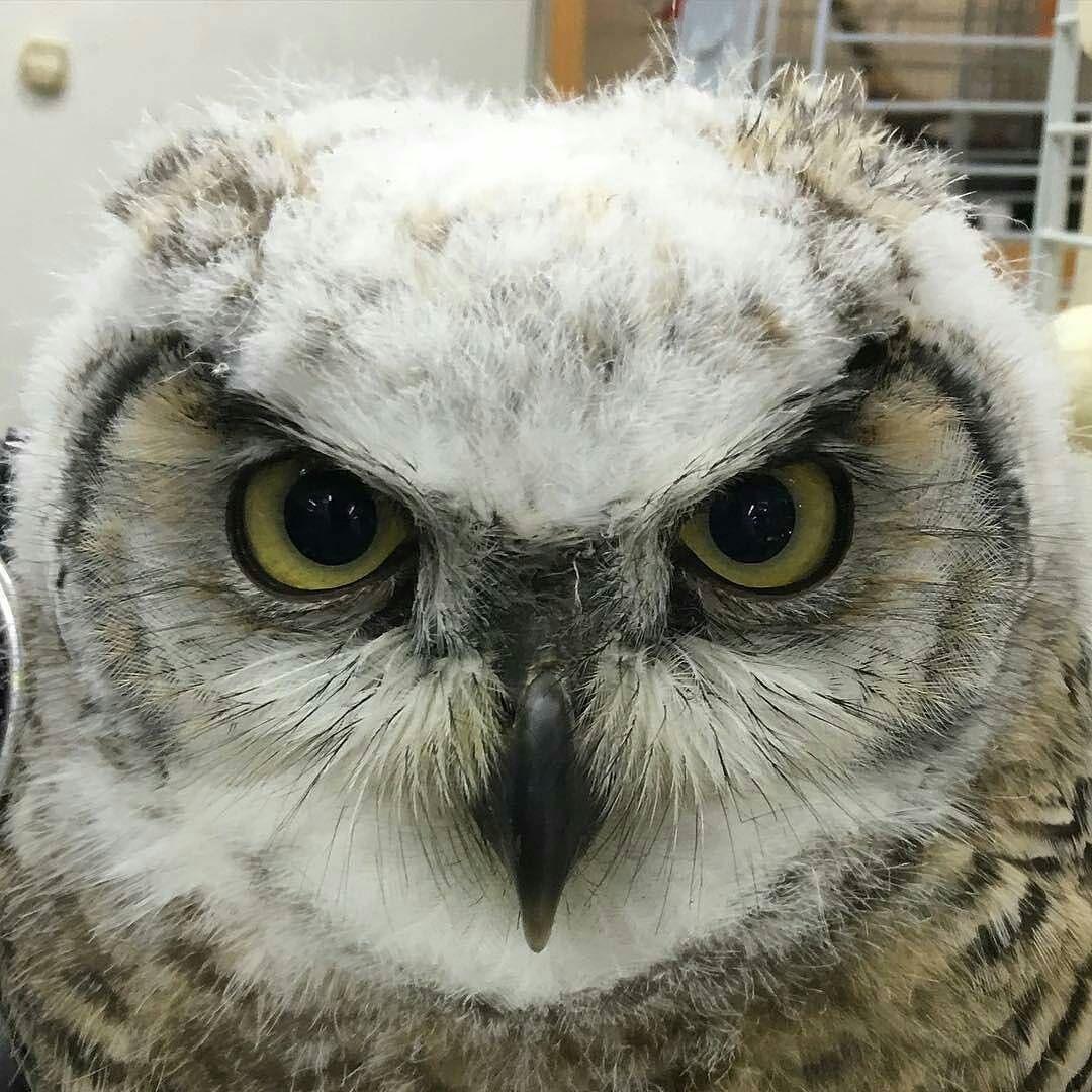 Beautiful owl Credit : @tatuyacc -  もふもふ . #owl #owls #owllove