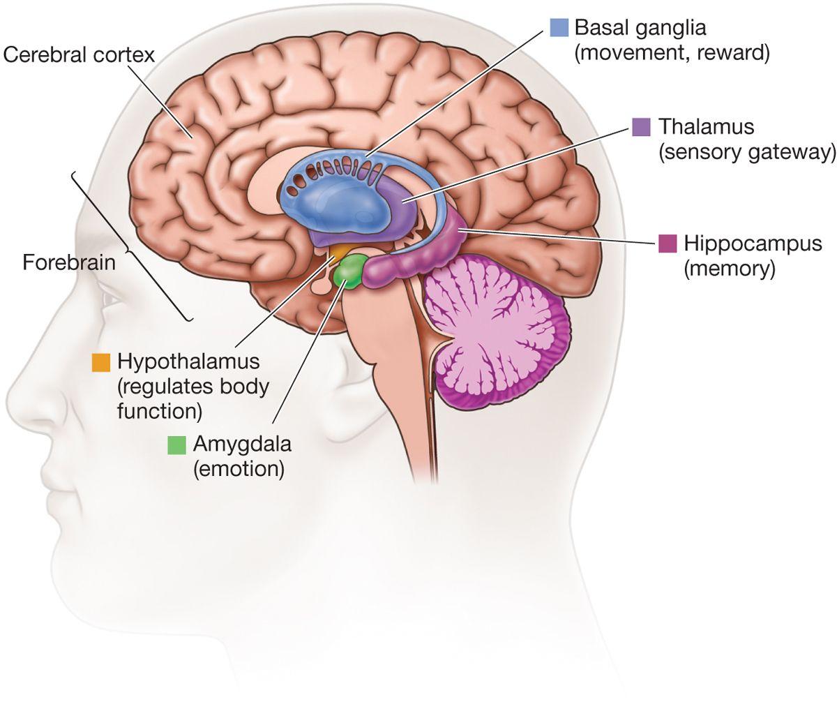 Basal Ganglia Stroke Cortex Neuroscience Funnypictures Www