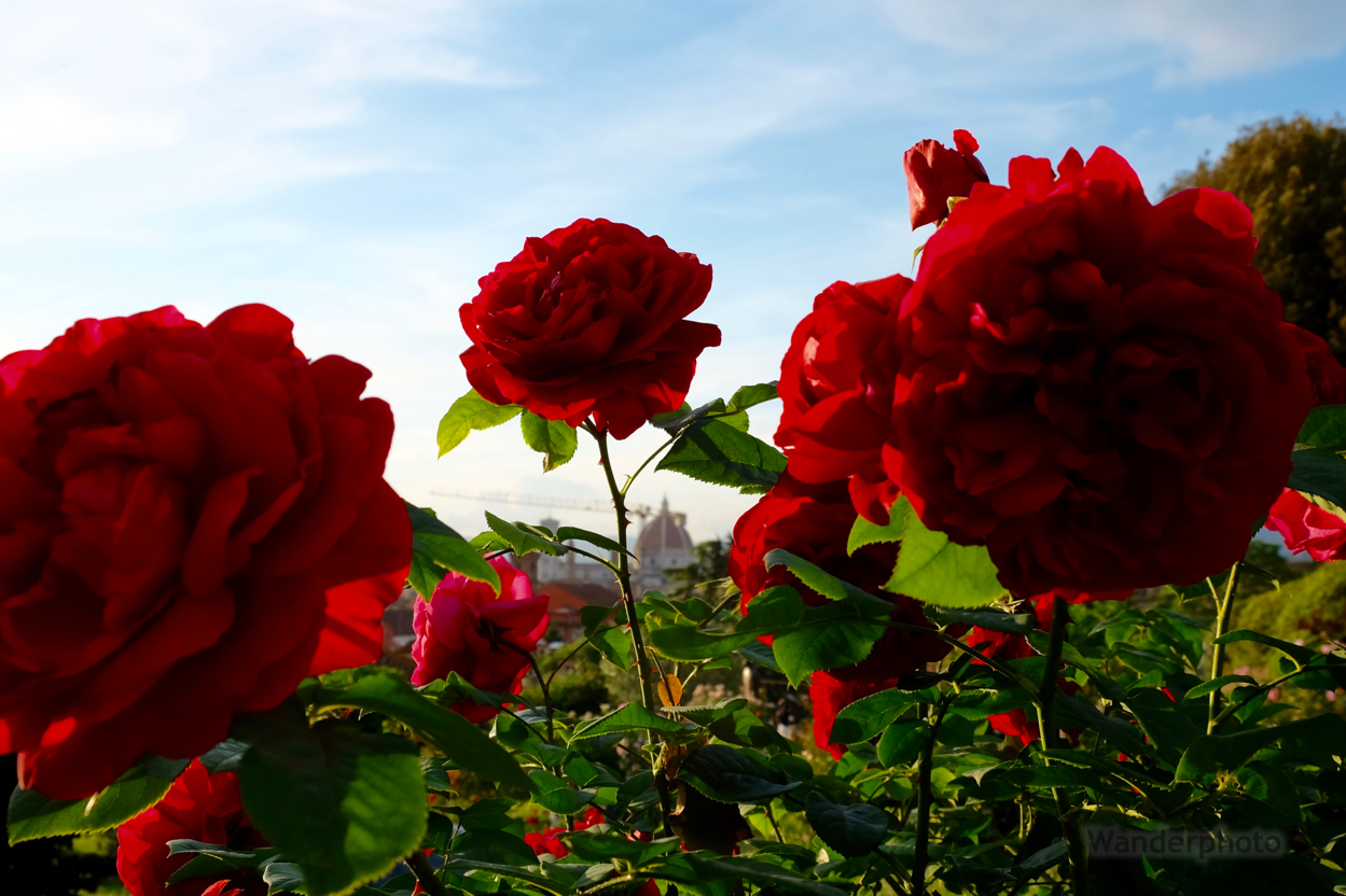 The Duomo Peeks Through Red Roses In The Rose Garden Near Piazza