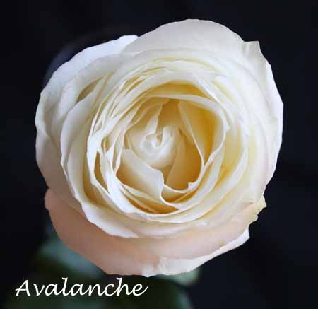 Varieties Of White Roses White Roses Rose Varieties Types Of Flowers