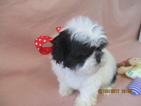 Shih Tzu Puppy For Sale In Asheville Nc Adn 36909 On Puppyfinder