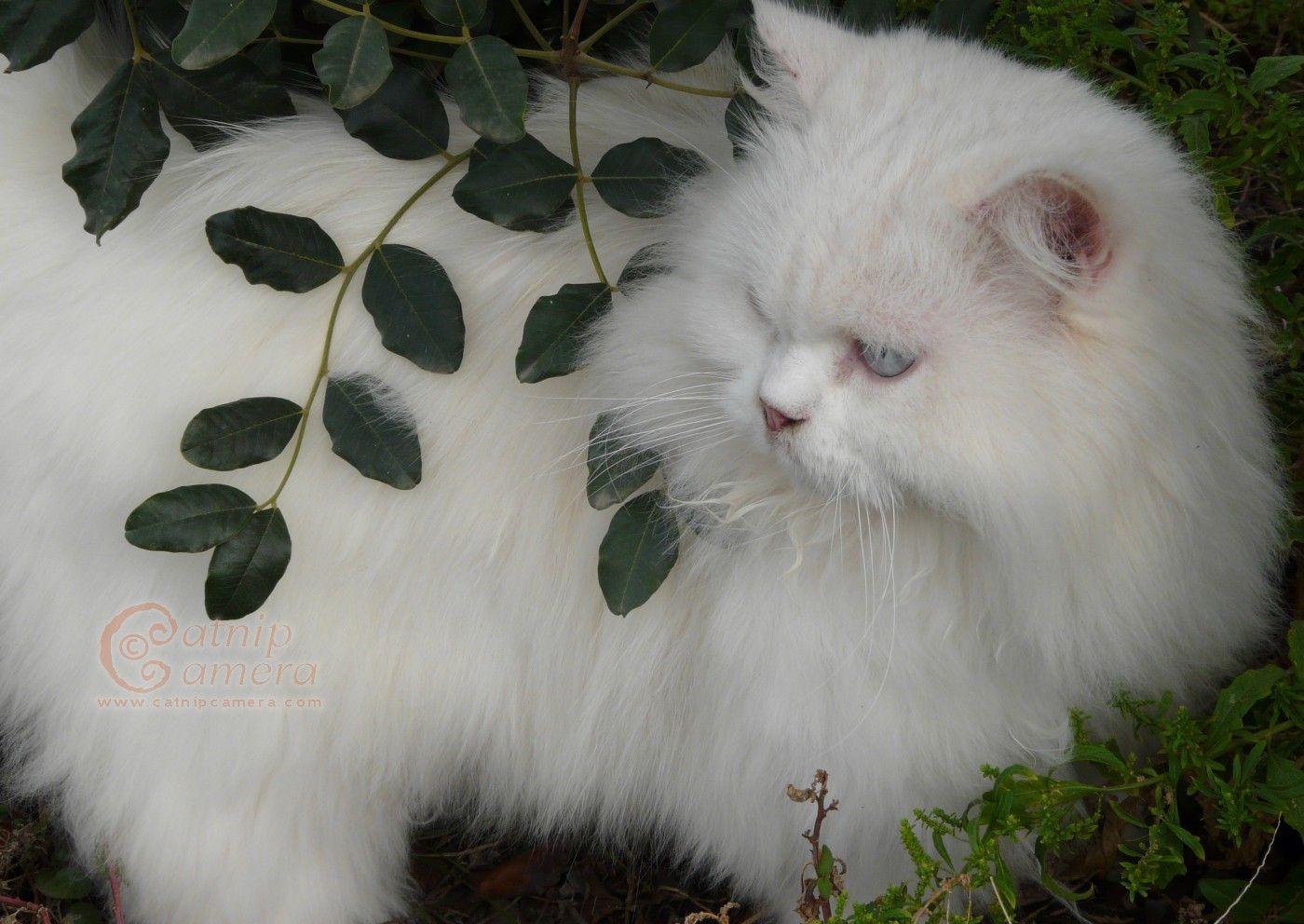 Persian Cats Catnip Camera Cat aesthetic, Persian