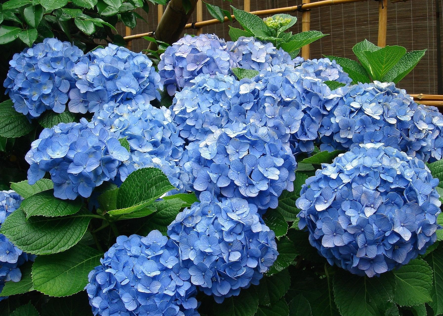 Hydrangea Care Tips When To Prune Different Hydrangea Varieties From The Old Farmer 39 S Almanac Blue Hydrangea Flowers Hydrangea Care Hydrangea Varieties