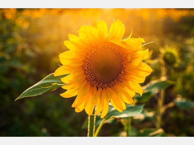 Bedford giving free sunflower seeds to show community
