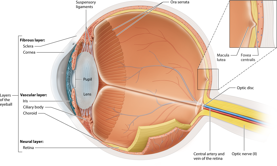 Module 15.4 Anatomy of the Eye: Human Anatomy and Physiology ...