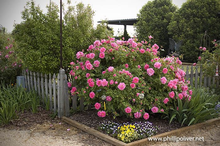 Dirt Therapy Petals From The Past Planting Roses Shrub Roses Rose Diseases
