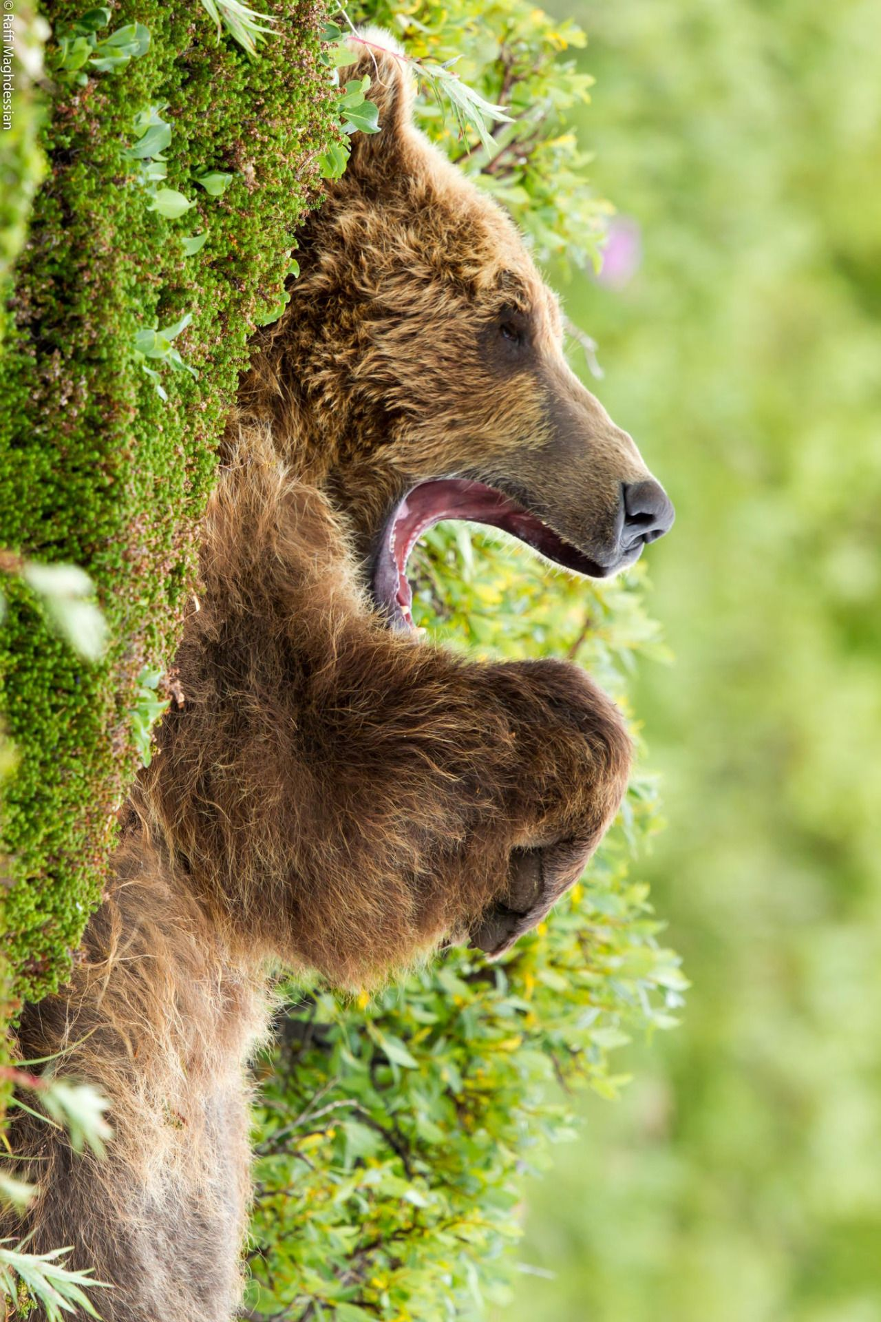 "earthandanimals: "" earthandanimals: Asleep Bear by Raffi Maghdessian """