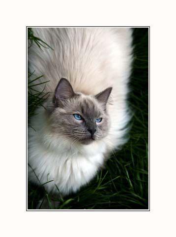 Ragdoll Cat 45 Cat Nap White Ragdoll Cat Ragdoll