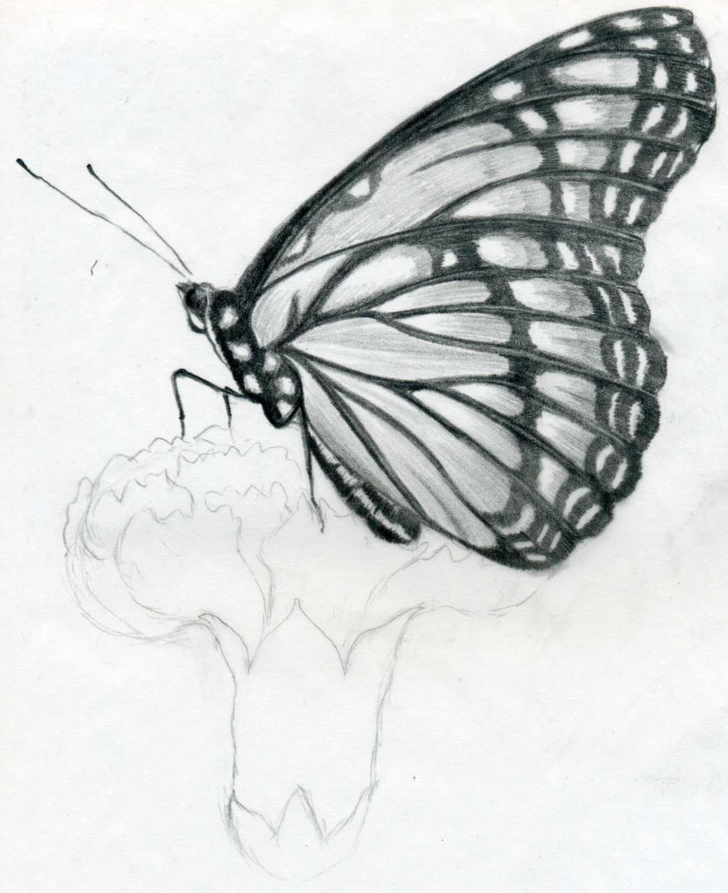 Sketches drawing butterfly sketches wallpapers cute birds sketches wallpapers