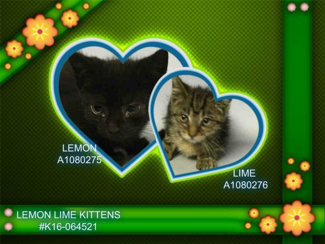 LEMON LIME KITTENS - #K16-064521 - - Brooklyn  Please Share:    ***TO BE DESTROYED 07/11/2016***MUST BE PULLED WITH NEW HOPE PARTNERS! REACH OUT AND SAVE THESE SWEET SISTERS JUST 9 weeks old! Babies in ACC don't fare well, and these sweet little girls with slight colds just need some love and kisses and a little medicine. Look at their little faces, you could spend hours kissing them! Work with any of the New Hope rescues and either ask them to help you adopt them or