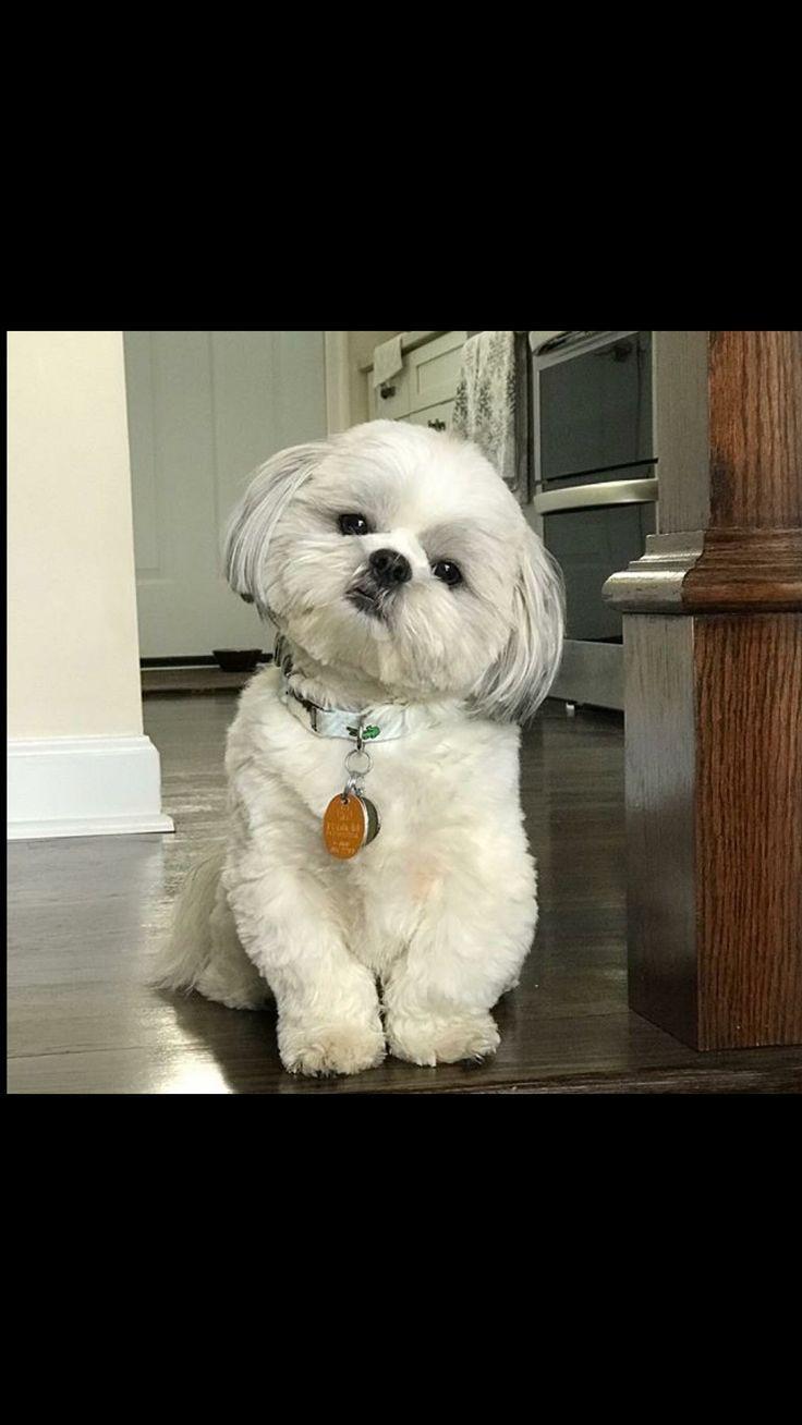 You Have My Attention Hundebaby Havaneser Hund Susse Hunde