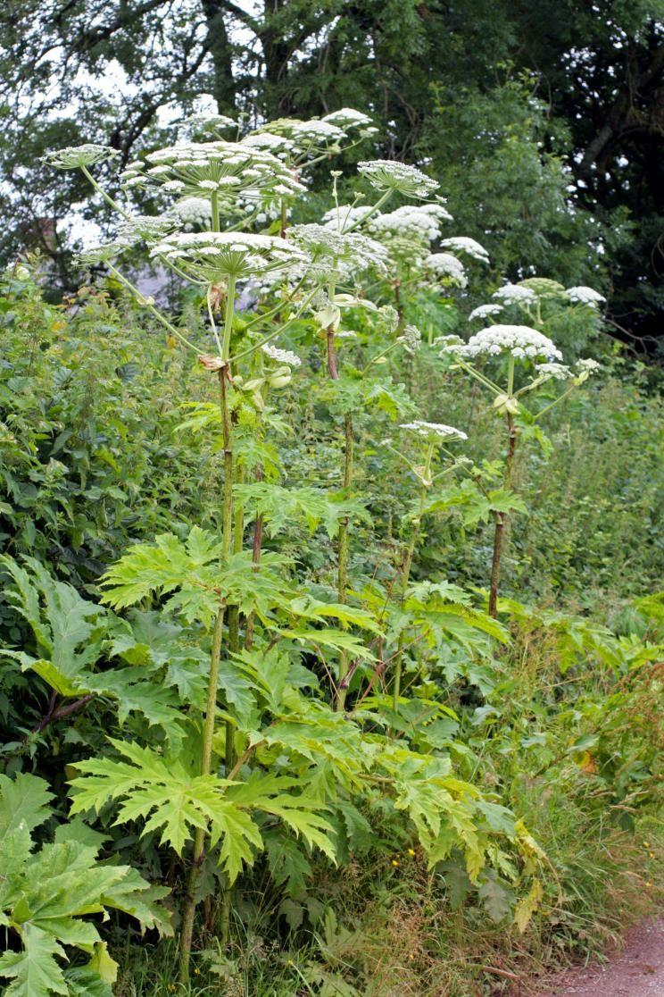 Riesenbarenklau Ein Gefahrlicher Neophyt Riesenbarenklau Herkulesstaude Pflanzen