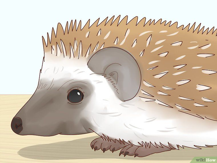 How To Take Care Of A Hedgehog With Pictures Hedgehog Pet Baby Hedgehog Hedgehog