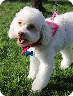 Bella Maltese Poodle Toy Or Tea Cup Mix Female Already Spayed Neutered Housetrained Purebred Up To Date With Shots Kitten Adoption Maltese Poodle Pets