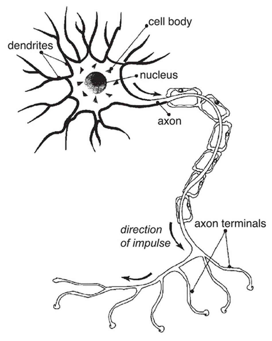 diagram of nerve cell organelles