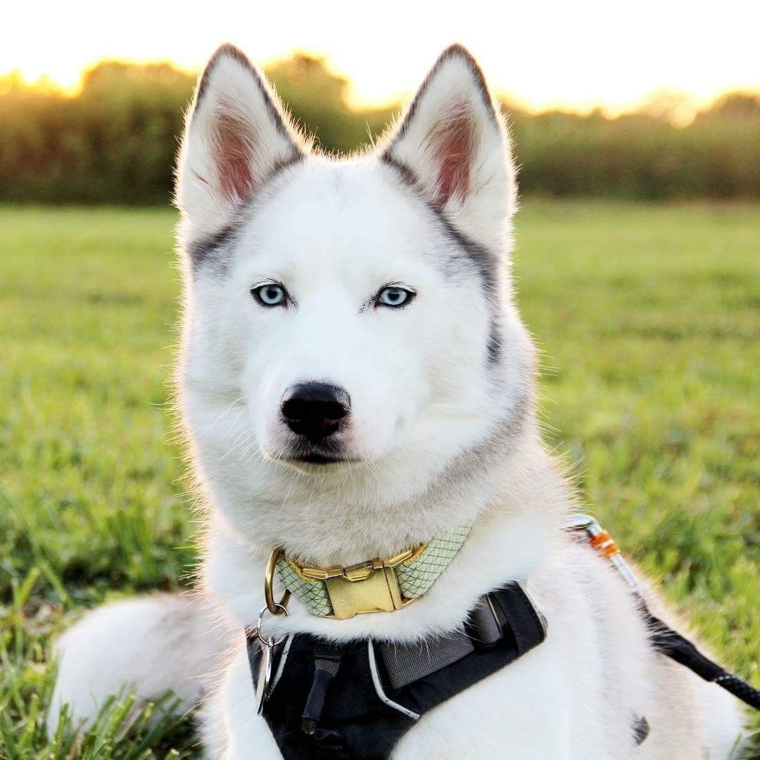 Pin By Kathy Gregg On Dogs With Images Siberian Husky Dog Breeds