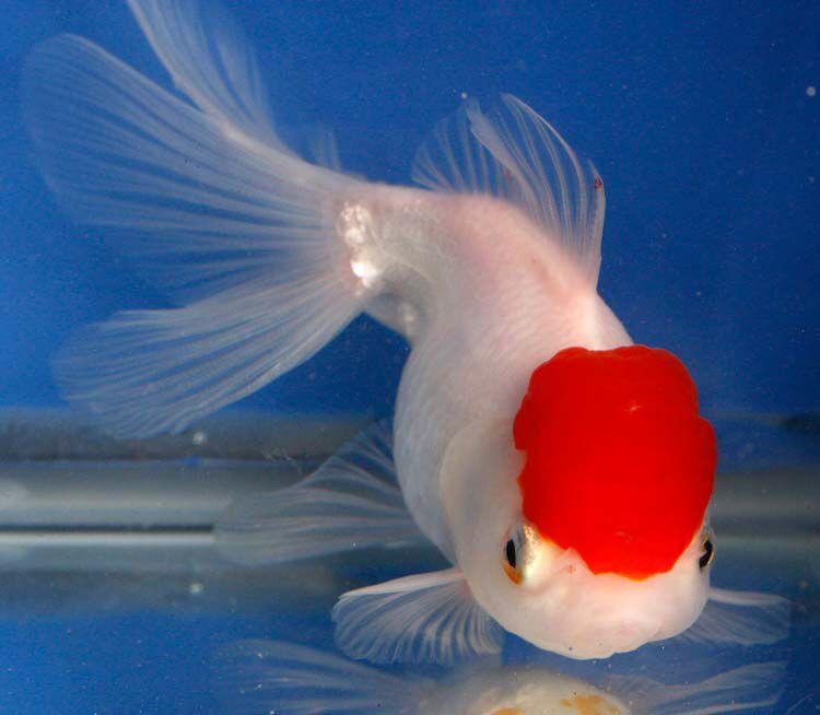 Want To Buy Some Imported Goldfish? | Blue Ridge Fish Hatchery