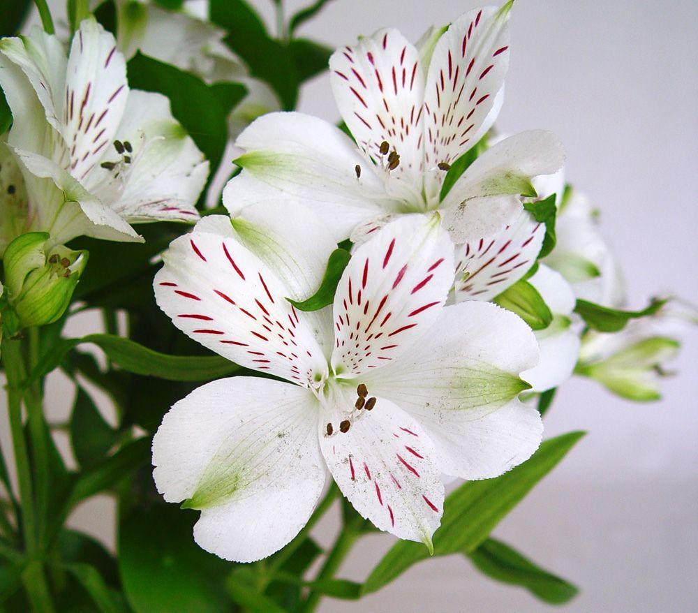 Alstroemeria Bunch Alstroemeria Flowers Flower Garden Design