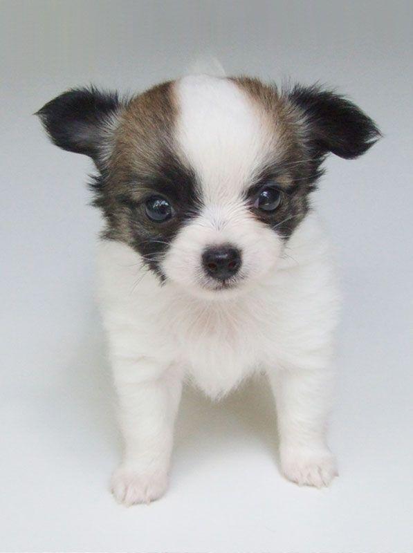 Beergarita 5 Weeks Old 1 Lb 1 3 4 Ozs Chihuahua Chihuahua