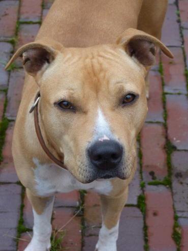 Nala Amstaff Mix 1 5 Jahre Vertraglich Lustige Hunde Hunde