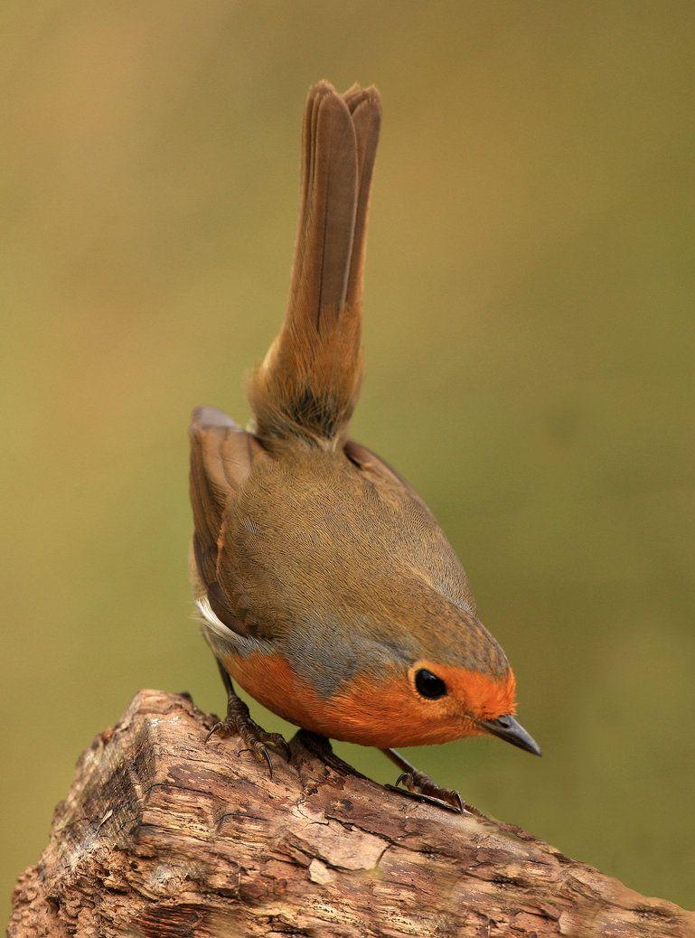 всех вас картинки птицы робина ассортимент настолько большой