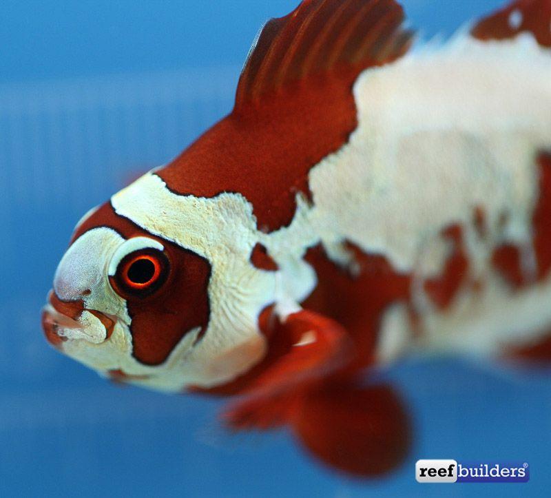 Peacekeeper Maroon Clownfish 2 Clown Fish Saltwater Fish Tanks Reef Safe Fish