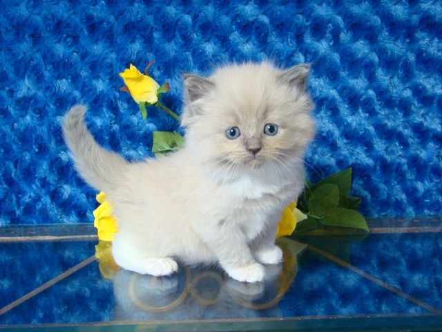 Asia Blue Mitted Mink Female Ragdoll Ragdoll Kitten For