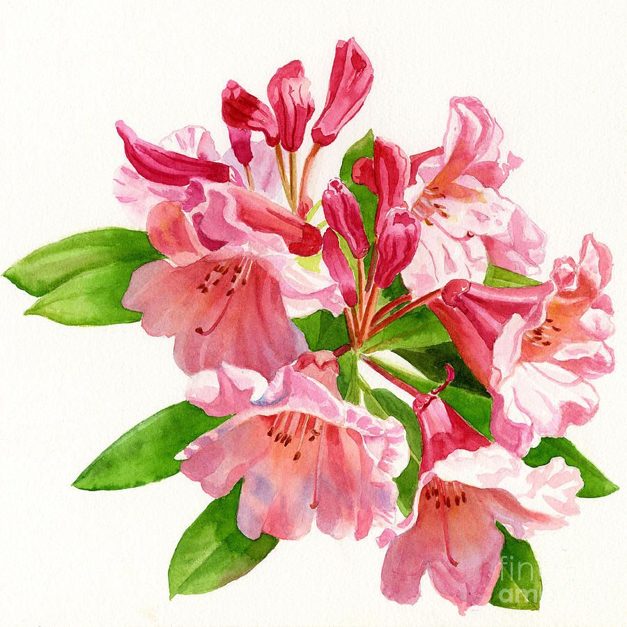 peach-and-pink-rhododendron-sharon-freeman.jpg (900×900)