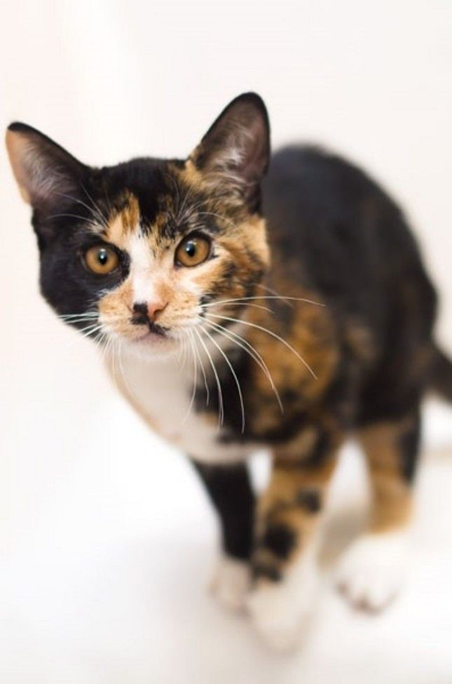 A Rare Male Calico Cat Was Brought To The Humane Society Silicon Valley Neighborhood Adoption Center Inside Petco In Sunnyv Calico Cat Calico Kitten Tabby Cat