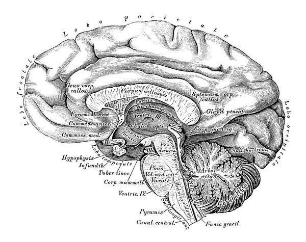 Print of Human anatomy scientific illustrations: Brain side view