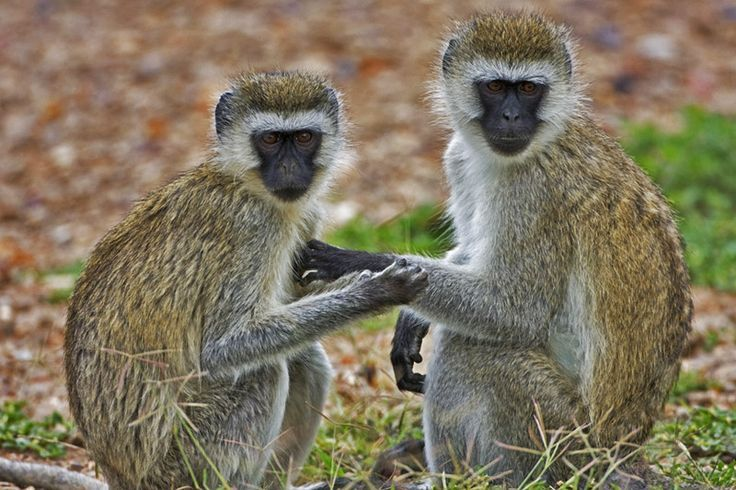 5 Amazing Animals That Start With The Letter V Vervet Monkey Animals Primates