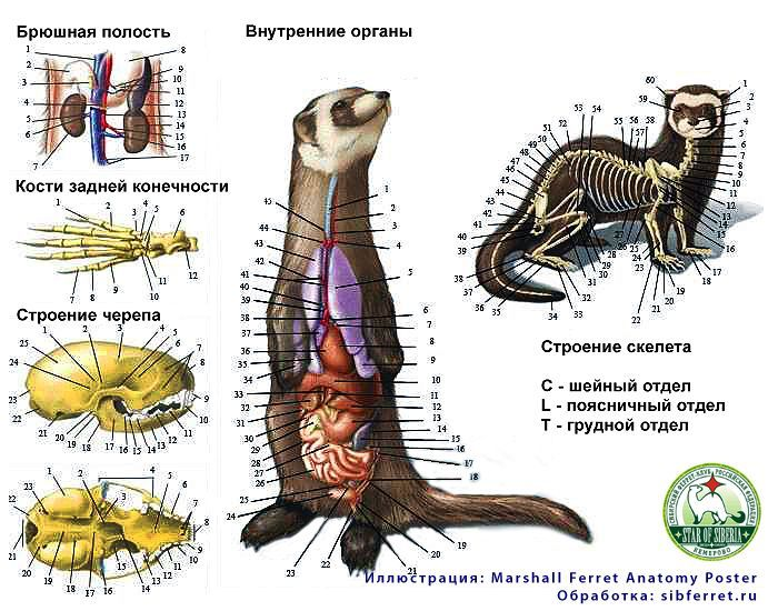anatomy-ferret.jpg (700×550) | Ferret Anatomy/Skeletons ...