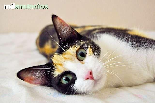 Adopcion Compra Venta De Gatos Adopcion En Valencia Anuncios Con Fotos De Gatos Comprar Un Gato Todas Las Razas De Gat Gatos Razas De Gatos Fotos Con Gatos