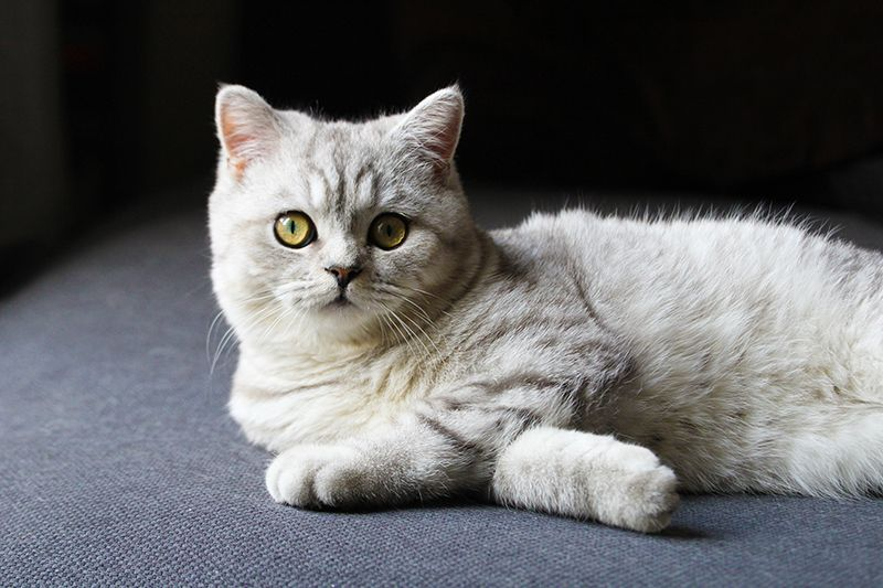 Ilton chaton British Shorthair // 8 mois Copyright 2013 © Pauline