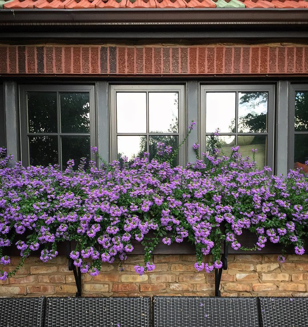 Summer Daze Flowers Plants Flowerpower Purple Scaevola Window Windowbox Garden Summer Planting Flowers Front Landscaping Window Box