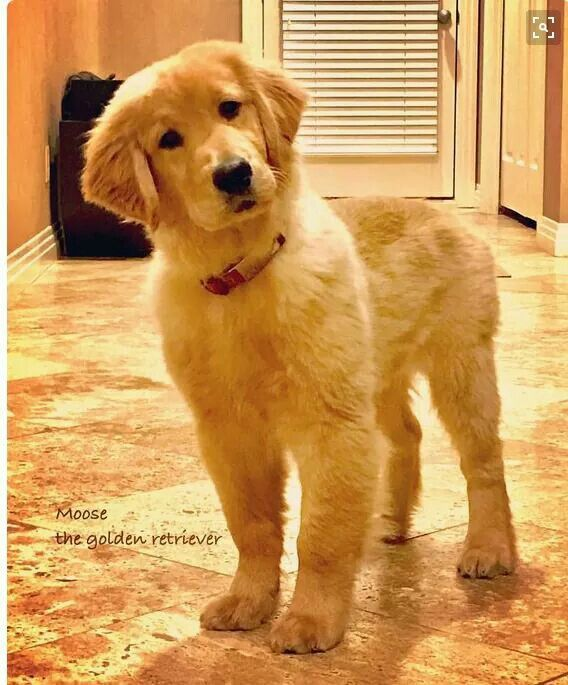 Golden retriever puppy...  b17dfe60399
