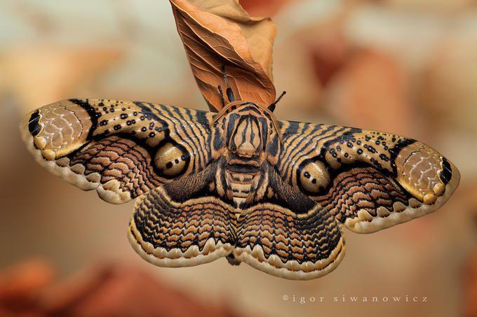 Body Art Schmetterling Nachtfalter Schone Schmetterlinge